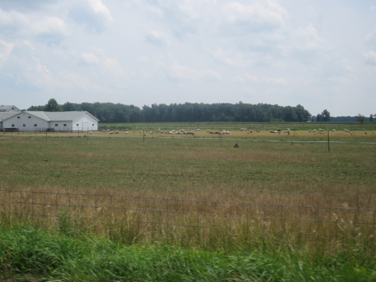 adams-county-indiana-sheep