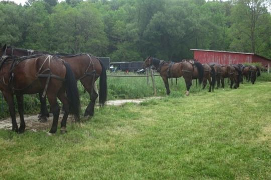 Amish Auction Horse Parking