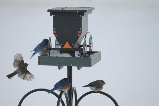 amish-buggy-bird-feeder