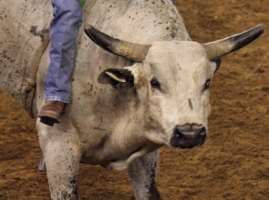 amish bullrider