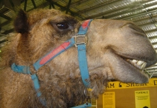Amish Camel Milk