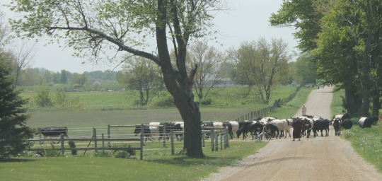 amish-cow-herding