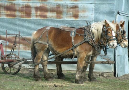 amish draft horses