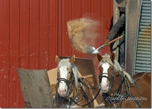 amish-farmer-shoveling-feed