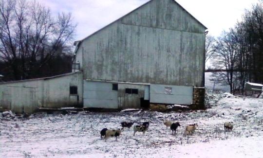 amish goats ohio