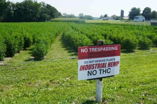 Is Hemp The New Amish Cash Crop?