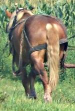 amish horse mane cut