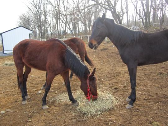 Amish Horses Eating