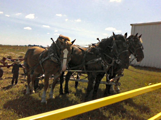 amish horses illinois