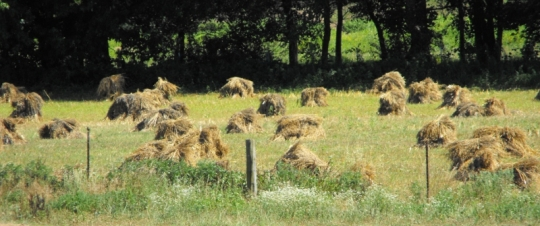 Amish Oat Shocks