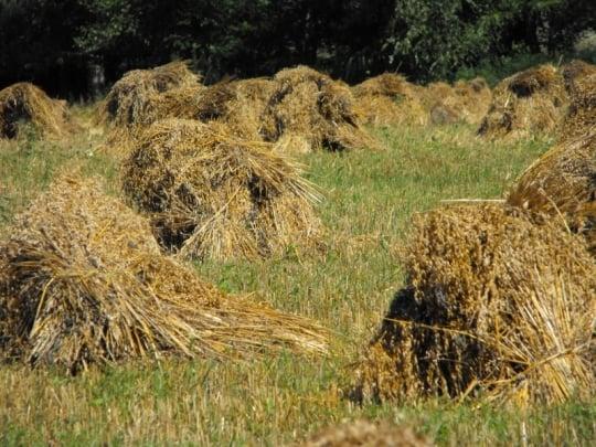 Amish Oats