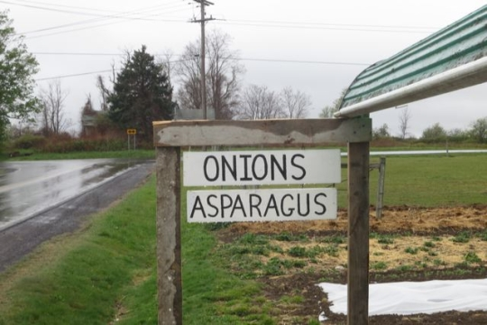 Amish Onions