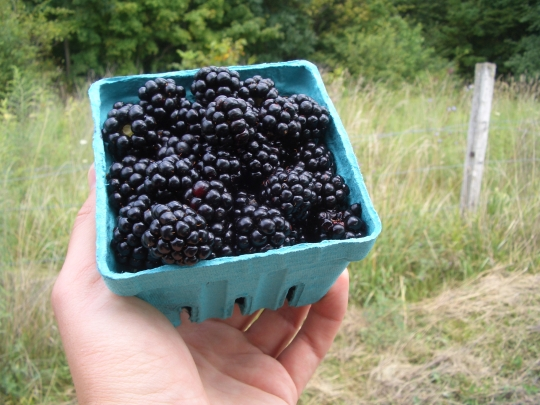 amish produce blackberries