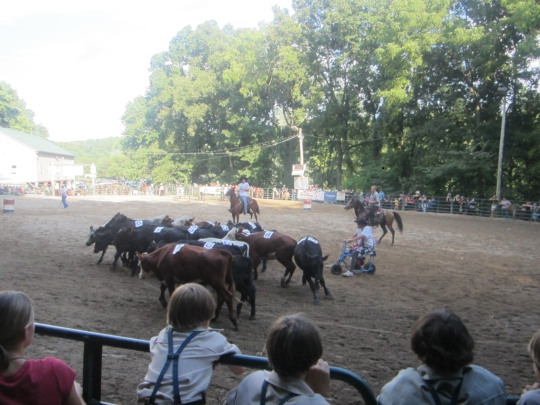 Amish Rodeo Cattle