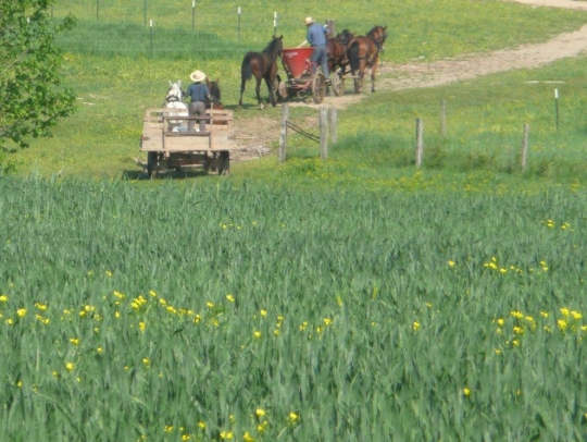 amish tennessee fields