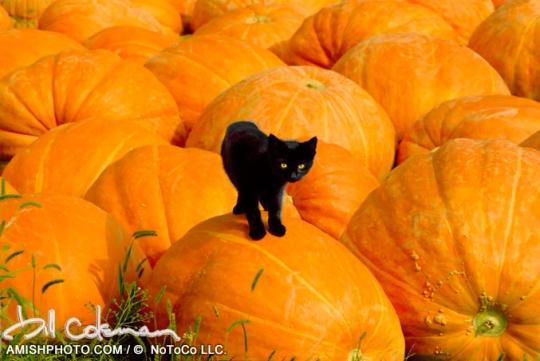 Bill Coleman Cat Pumpkins