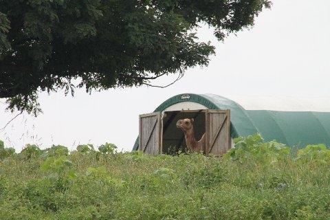 Camel Morning