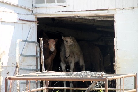 Camels In Barn