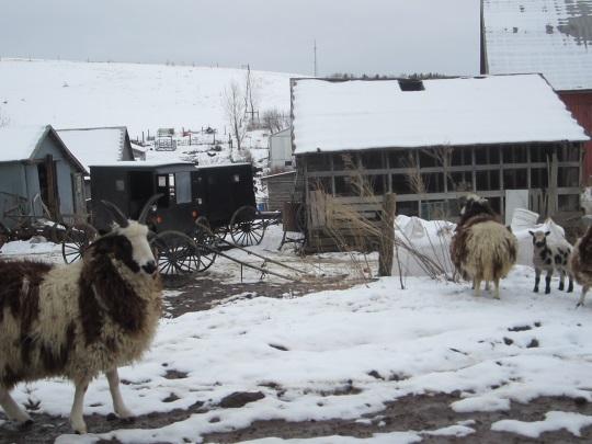 goats-somerset-pa