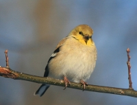 Goldfinch Ohio