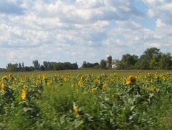 Hicksville Sunflower Field