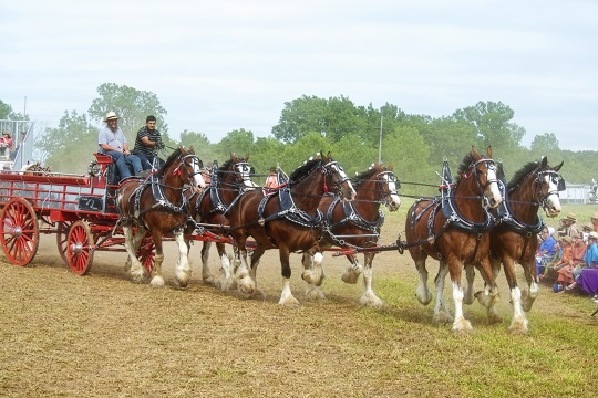 horses-clydesdales