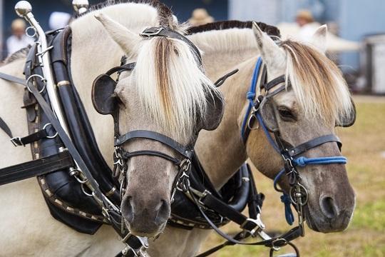 horses-pair