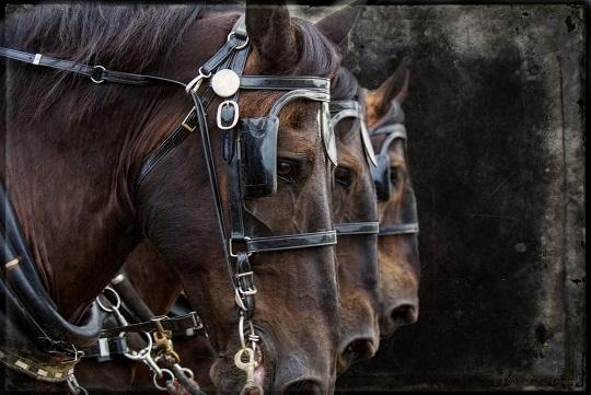 horses-three-perchron