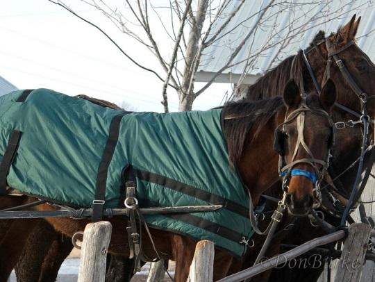 kalona-horses