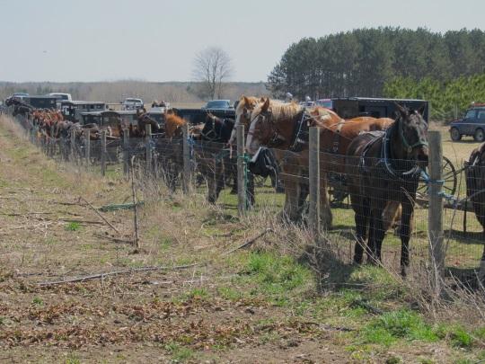 long-row-of-amish-horses-at-auction