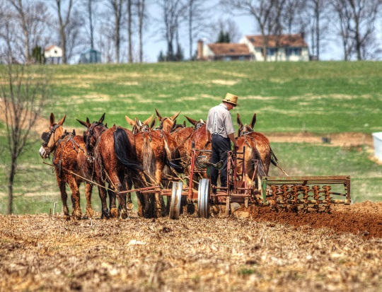 mule-team-plowing-amish-labor