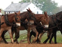 Mules pulling a plow