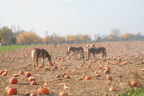 mules-and-pumpkins