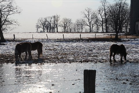 mules-in-thawing-fields