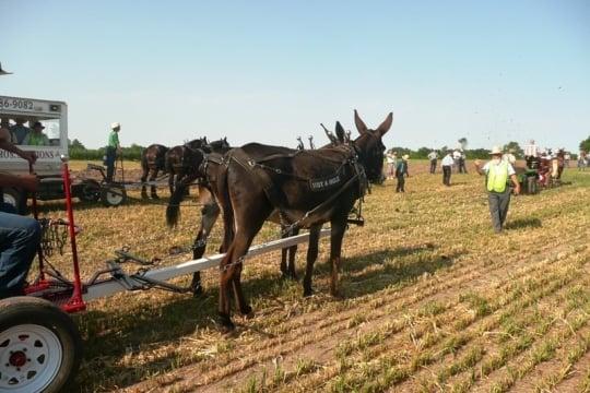 Not a Mule