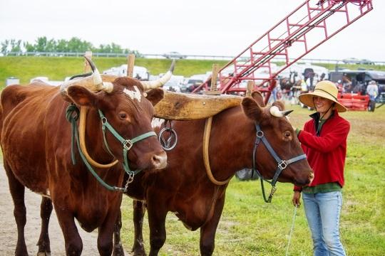 oxen-at-horse-progress-days