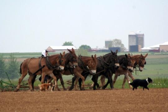 plowing-mules