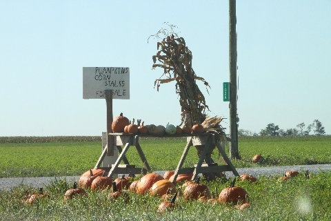 pumpkins-corn-stalks