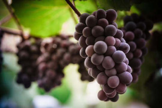 purple-grapes