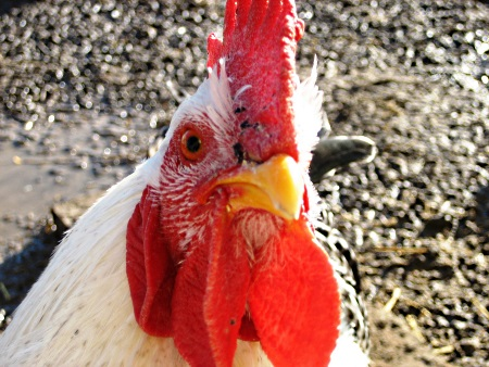 rooster-close-up