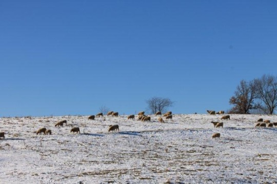 sheep-on-hill-holmes-co