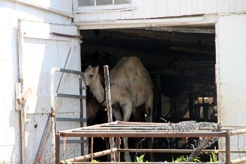 White Amish Camel