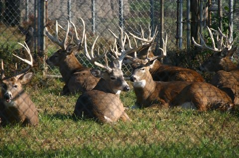 Whitetail Deer Farm Amish