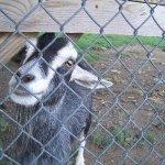 Random Goat Post