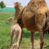 An Update on the Camels of Lancaster County (And One More Odd Beast)