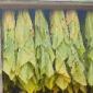 amish crops