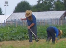 amish produce farmer
