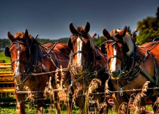 michigan amish horses