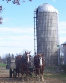 new york amish horses
